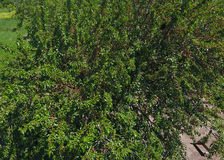 Ramos da amoreira com bagas maduras Amoreira madura em uma árvore Amadurecimento de bagas da amoreira Imagens de Stock