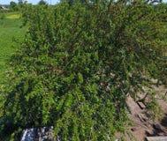 Ramos da amoreira com bagas maduras Amoreira madura em uma árvore Amadurecimento de bagas da amoreira Foto de Stock