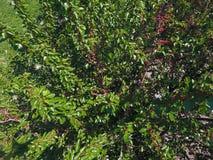 Ramos da amoreira com bagas maduras Amoreira madura em uma árvore Amadurecimento de bagas da amoreira Fotografia de Stock Royalty Free