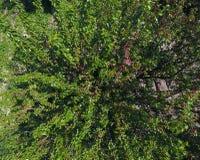Ramos da amoreira com bagas maduras Amoreira madura em uma árvore Amadurecimento de bagas da amoreira Fotos de Stock Royalty Free