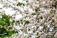 Ramos da Apple-árvore na flor do alcance fotografia de stock royalty free
