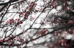 Ramos da cereja de florescência Foto de Stock Royalty Free
