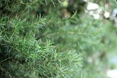 Ramos da erva dos alecrins com close-up das folhas Cozinhando o ingrediente de alimento, plantas cruas do tempero imagens de stock royalty free