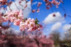 Ramos da flor da cereja Foto de Stock Royalty Free