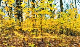 Ramos das árvores com folhas amarelas Fotografia de Stock Royalty Free