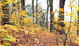 Ramos das árvores com folhas amarelas Imagem de Stock Royalty Free