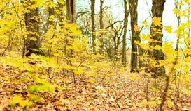 Ramos das árvores com folhas amarelas Imagens de Stock