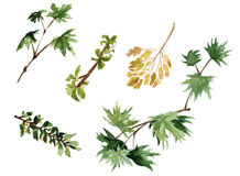 Ramos das árvores com folhas Isolado watercolor Fotos de Stock