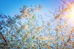 Ramos das árvores e do nascer do sol de cereja florais Fotos de Stock Royalty Free