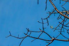 Ramos das árvores sem fundo das folhas Sagacidade da árvore da estação seca Imagem de Stock Royalty Free