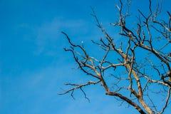 Ramos das árvores sem fundo das folhas Sagacidade da árvore da estação seca Fotografia de Stock