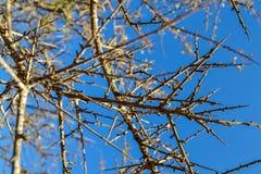 Ramos das árvores sem fundo das folhas Árvore da estação seca sem folhas Fotografia de Stock