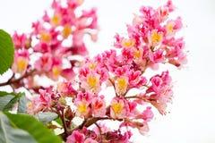 Ramos das castanhas de florescência do rosa vermelho com folhas e o ascendente próximo da inflorescência Foco seletivo Fotografia de Stock Royalty Free
