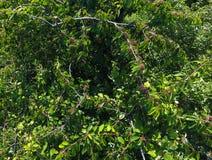 Ramos das cerejas com bagas maduras Cereja doce madura em uma árvore Amadurecimento das bagas da cereja doce Fotografia de Stock