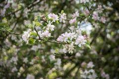 Ramos das flores brancas do bossom da maçã Fotografia de Stock Royalty Free