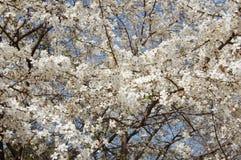 Ramos das flores de cerejeira Fotografia de Stock