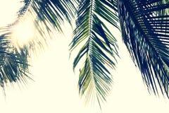 Ramos das folhas de palmeira Fotos de Stock Royalty Free