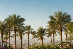 Ramos das palmas de data sob o céu azul em Egito foto de stock royalty free