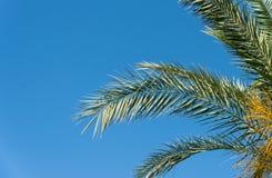 Ramos das palmeiras contra o céu azul Imagens de Stock Royalty Free