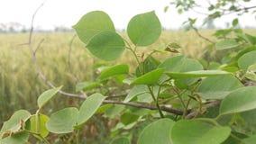 Ramos de árvore além do campo de trigo Fotografia de Stock