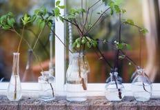Ramos de árvore bonitos da mola nas garrafas de vidro na janela Fotografia de Stock Royalty Free