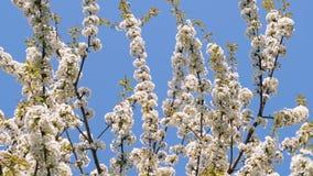 Ramos de árvore brancos da maçã da flor que balançam no vento em um parque filme