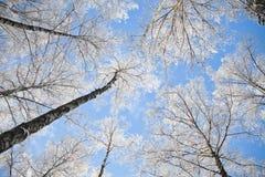 Ramos de árvore cobertos de neve brancos contra o céu azul Imagens de Stock