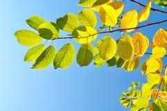 Ramos de árvore coloridos da cereja do pássaro contra o céu azul brilhante - fundo natural do outono Imagens de Stock Royalty Free