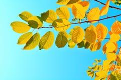 Ramos de árvore coloridos da cereja do pássaro contra o céu azul brilhante - fundo natural do outono Imagem de Stock