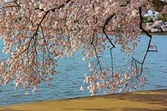 Ramos de árvore coloridos da cereja perto da água da bacia maré Fotos de Stock Royalty Free