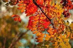 Ramos de árvore coloridos da cinza da montanha na luz solar - fundo do outono Fotografia de Stock