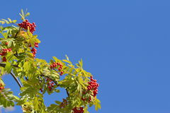 Ramos de árvore coloridos de Rowan do outono contra o céu azul Fotos de Stock