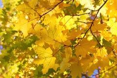 Ramos de árvore coloridos do bordo do outono Imagem de Stock