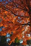 Ramos de árvore coloridos do outono com leafes alaranjados brilhantes Fotos de Stock
