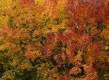 Ramos de árvore coloridos do outono em cores douradas Imagem de Stock Royalty Free
