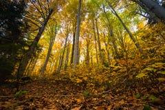 Ramos de árvore coloridos na floresta ensolarada, backgroun natural do outono Imagem de Stock