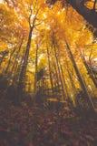Ramos de árvore coloridos na floresta ensolarada, backgroun natural do outono Imagens de Stock