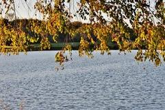 Ramos de árvore com as folhas acima da água Fotografia de Stock