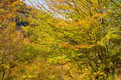 Ramos de árvore com as folhas no outono, Itália do amarelo e do verde fotografia de stock royalty free