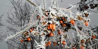 Ramos de árvore congelados que carregam frutos alaranjados Imagens de Stock Royalty Free