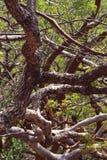 Ramos de árvore curvados Imagem de Stock
