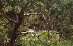 Ramos de árvore curvados Fotos de Stock Royalty Free