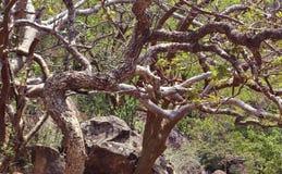Ramos de árvore curvados Imagens de Stock
