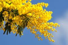 Ramos de árvore da mimosa na mola Fotografia de Stock