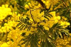Ramos de árvore da mimosa no céu azul Fotografia de Stock Royalty Free