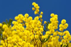 Ramos de árvore da mimosa no céu azul Foto de Stock