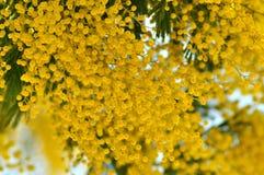 Ramos de árvore da mimosa no fundo do céu azul Imagem de Stock Royalty Free