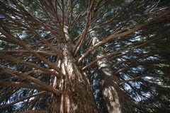 Ramos de árvore da sequoia Fotos de Stock