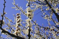 Ramos de árvore de florescência Imagens de Stock Royalty Free