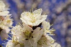 Ramos de árvore de florescência Fotos de Stock